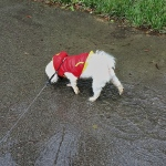 Rascal wading rain water